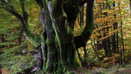 Dominantes Gewächs: 350 Jahre alte Buche in der bayerischen Rhön - der Ur-Baum in Deutschlands Wäldern. (Foto: Biosphärenreservat Rhön)