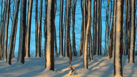 Deutscher Symbolbaum vor blauem Himmel: winterlich eingeschneite Stieleichen im Spessart. (Foto: Imago/Blickwinkel)