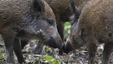 Invasion der Wildschweine