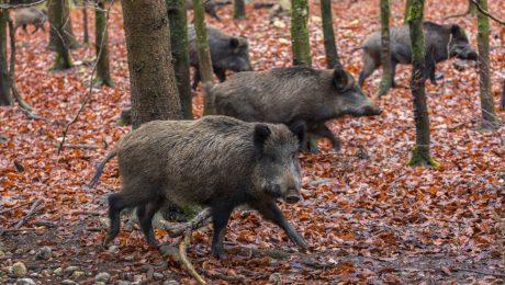 Kampf gegen die Schweinepest